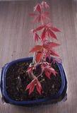 Shaina Japanese Maple (Acer palmatum) Arkivfoton
