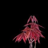 Shaina Japanese Maple (Acer palmatum) Arkivbilder