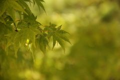 Shaina Japanese Maple (Acer-palmatum) Stockbild