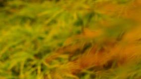 Shaina Japanese Maple (palmatum d'Acer) banque de vidéos
