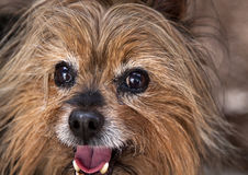 Shaka the Australian Silky Terrier Royalty Free Stock Images