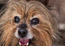 Shaka le chien terrier soyeux australien Images libres de droits