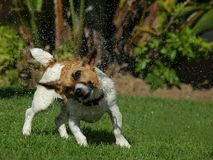 Shake it. A dog shaking off water Stock Photos