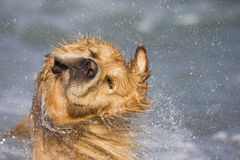 Shake. Golden retriever shaking head at the beach Royalty Free Stock Photography