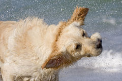 Shake. Wet golden retriever shaking head splashing water Royalty Free Stock Images