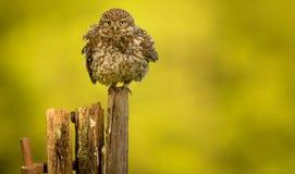 Shake it. A wild little owl having a shake Royalty Free Stock Image