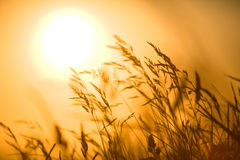 Shaked grass in front of sunset Royalty Free Stock Photo