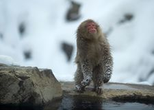 Shakes,adult,animals,cold,cold weather,cute,face,fauna,frost,fur,fuscata,habitat,hair,hairy,hot,hot spring,japan,japanese,japanese. Macaque,japanese monkey stock photo