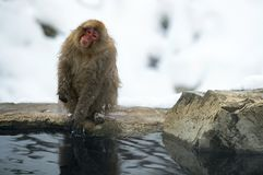 Shakes,adult,animals,cold,cold weather,cute,face,fauna,frost,fur,fuscata,habitat,hair,hairy,hot,hot spring,japan,japanese,japanese. Macaque,japanese monkey royalty free stock images