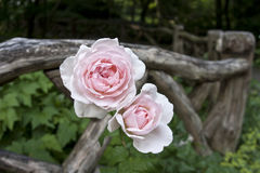 Shakespeare gardens pink roses Royalty Free Stock Photography