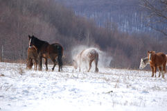 Shaking. Group of horses on a snowy hillside.  The horse in the middle is shaking the snow off her body Royalty Free Stock Photos