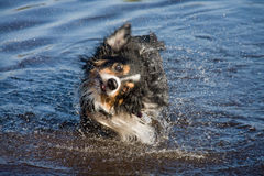 Shaking dog Royalty Free Stock Photos