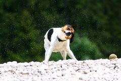 Shaking doggy royalty free stock photo