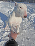 Shaking hands with white Bull Terrier Royalty Free Stock Photo