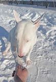 Shaking hands with white Bull Terrier Stock Photos