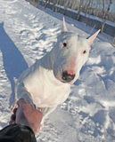 Shaking hands with white Bull Terrier Stock Images