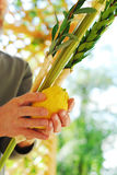 Shaking the Lulav. A man's hands shaking a lulav and etrog in a sukkah for the Jewish festival of Sukkot Royalty Free Stock Images