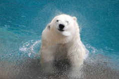 Shaking polar bear Stock Photography