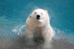 Shaking Polar Bear Stock Photography