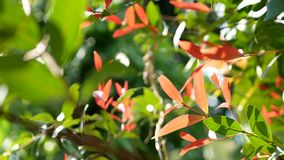 Shaking red and green leaves of Brush Cherries or Lillipillies, also known as Christina plant, Syzygium Campanulatum. In the mid of a breezy day`s afternoon stock video