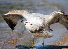 The Shaking Seagull Stock Image