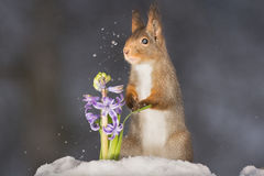 Shaking the snow. Red squirrel looking over a purple hyacinth with some snow moving in the air Royalty Free Stock Images