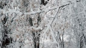 Shaking  tree covered with snow stock video footage