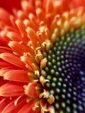 shallof макроса gerbera фокуса маргаритки очень Стоковая Фотография RF