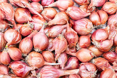 Shallot - Asia red onion - Allium ascalonicum. Royalty Free Stock Photos
