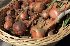 Shallot bulbs in a basket Royalty Free Stock Images