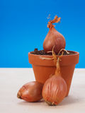 Shallot onions Royalty Free Stock Images