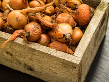 Shallots from the garden Royalty Free Stock Image