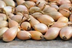 Shallots que secam após a colheita Imagem de Stock Royalty Free