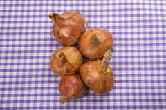 Shallots, `red sun`. Shallots, `red sun` on a blue gingham tablecloth Stock Images