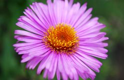 Shallow asters. Autumn flowering of bright, shallow asters Stock Image