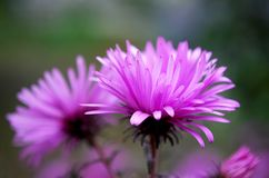 Shallow asters. Lilac, shallow asters flowering in autumn Royalty Free Stock Photography