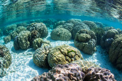 Shallow Boulder Corals. Colorful boulder corals (Porites lutea) grow in the Solomon Islands Stock Photo