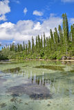 Shallow brackish river stream with ascending row of Pine Trees at Ile des Pins, New Caledonia. Royalty Free Stock Image