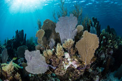 Shallow Caribbean Coral Reef Royalty Free Stock Photos
