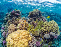 Shallow Colourful Coral Reef. This shallow coral reef in Soma Bay  Egypt was particularly colourful with lots of different sorts of corals and schools of fish Royalty Free Stock Images