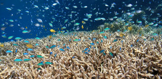 Shallow coral reef Stock Photos