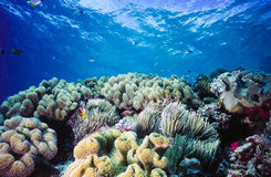 Shallow Coral reef Palau Micronesia. Shallow coral reef scene underwater off the coast of Palau, Micronesia Stock Photo