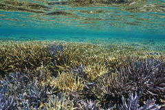 Shallow coral reef underwater south Pacific ocean. Shallow coral reef underwater with Acropora staghorn corals in good condition, south Pacific ocean, New stock images