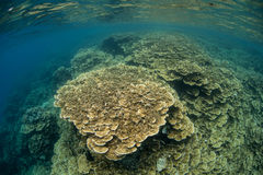 Shallow Corals in Lagoon. A coral reef grows in Palau's inner lagoon. Palau is known for its prolific marine life and world class diving and snorkeling Royalty Free Stock Image
