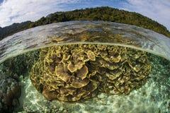 Shallow Corals Near Ambon, Indonesia. A beautiful coral reef grows near Ambon, Indonesia. This remote region harbors extraordinary marine biodiversity stock photo