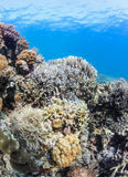 Shallow corals on a tropical reef Royalty Free Stock Images