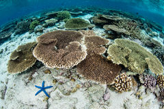 Shallow Corals in Wakatobi National Park Royalty Free Stock Image