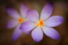 Shallow Croci Royalty Free Stock Photography