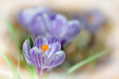 Shallow Crocuses. Shallow focused close up of purple and white crocuses (Croci) an early bloomer and an iconic harbinger of spring and Easter stock image