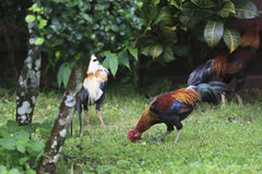 Shallow of Depth  on Beautiful Chicken in the Park. Royalty Free Stock Images